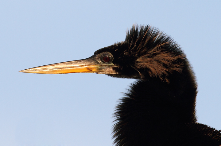 Click below for a high-res Anhinga close-up Photo by Bill Hubick.