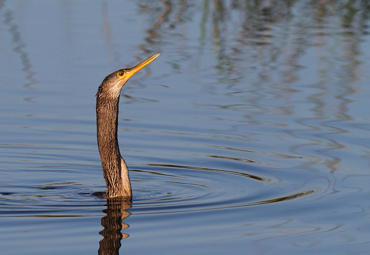 An Anhinga surfaces while hunting along in the Everglades (2/26/2010). Photo by Bill Hubick.