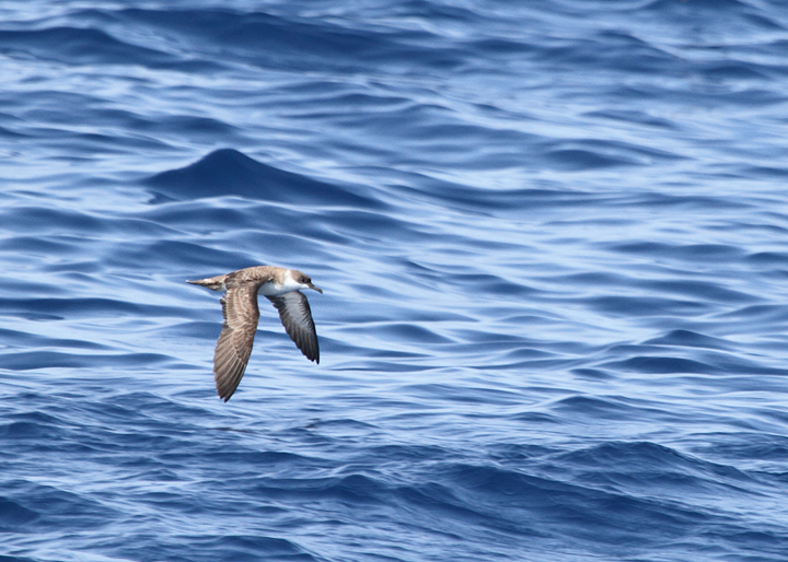An Audubon's Shearwater in warm waters far offshore Maryland (8/15/2010). Photo by Bill Hubick.
