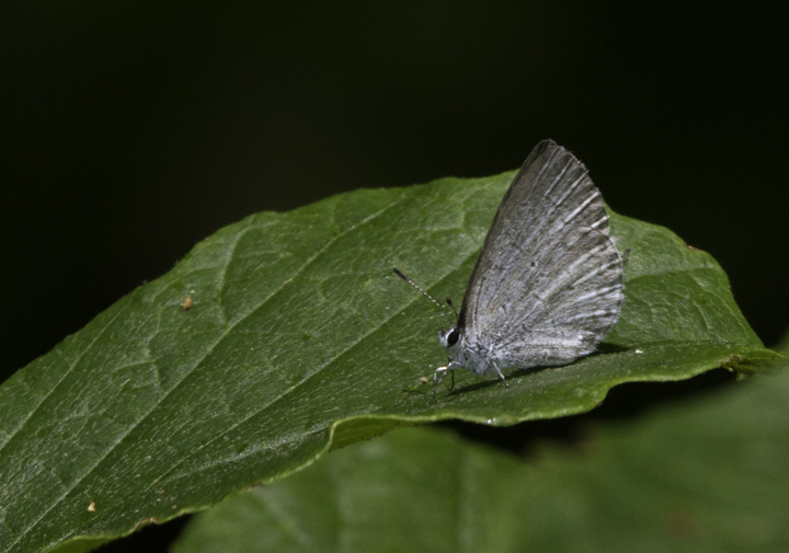 A somewhat worn Azure species in Washington Co., Maryland (6/4/2011). Photo by Bill Hubick.