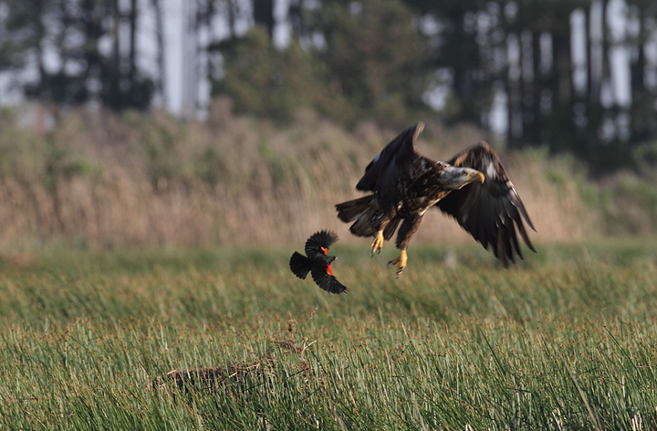 A Bald Eagle gets punked by a territorial Red-winged Blackbird (Dorchester Co., 5/8/2010). Photo by Bill Hubick.