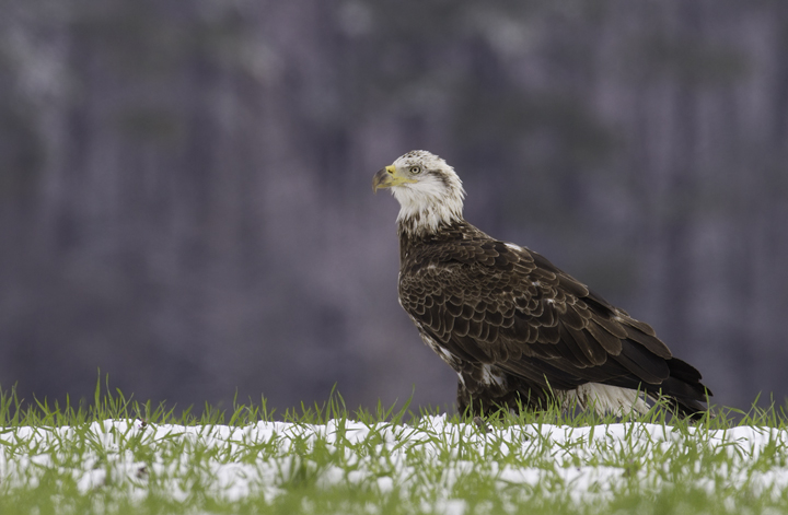 A third-year Bald Eagle in Wicomico Co., Maryland (3/27/2011). Photo by Bill Hubick.