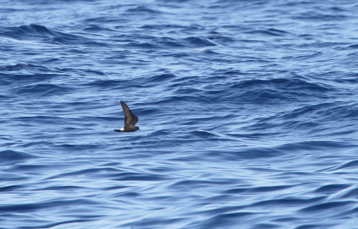 One of two Band-rumped Storm-Petrels documented 95 miles offshore in Maryland and New Jersey waters (8/15/2010). Click any image for full-size. There are three previous reports of this species in Maryland, one accepted (8/17/1997, Baltimore Canyon) and two others ready/reviewable (7/13/2006, Scotland/Chesapeake Bay and 8/24/2007, Pelagic). There are four different populations of this species that could someday be treated as full species. Grant's breeds in the Azores, Madeira, Selvagens, Canaries, and Berlengas. Madeiran breeds in Madeira, Selvagens, and rarely in the Canaries. Monteiro's breeds in the Azores, and Cape Verde only on Cape Verde (<em>Petrels Night and Day</em>). Hopefully we'll be able to establish the bird(s) shown here as belonging to one of those specific populations. Photo by Bill Hubick.