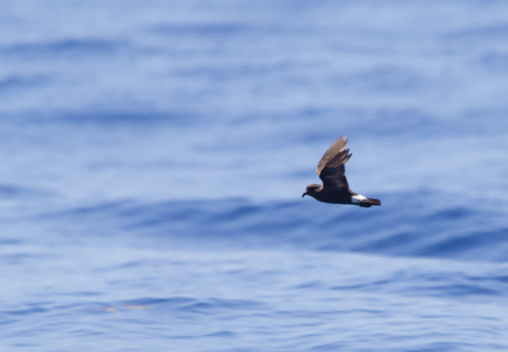 A worn Band-rumped Storm-Petrel, presumably Grant's Storm-Petrel, far off Cape Hatteras, North Carolina (5/28/2011). This population nests more widely in the Azores and south to the Canary Islands, mainly in October-November (Howell, Patteson, et al.).  Photo by Bill Hubick.
