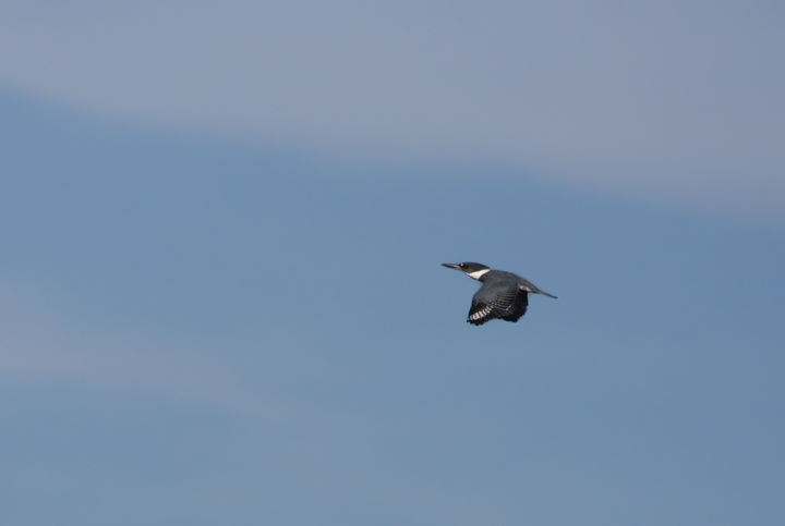 A Belted Kingfisher in flight over Worcester Co., Maryland (10/12/2009).