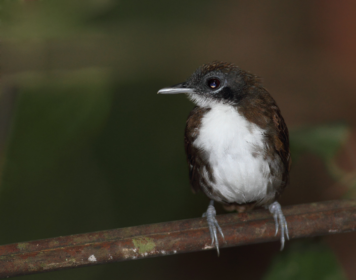 A Bicolored Antbird poses for us on Day One. Photo by Bill Hubick.