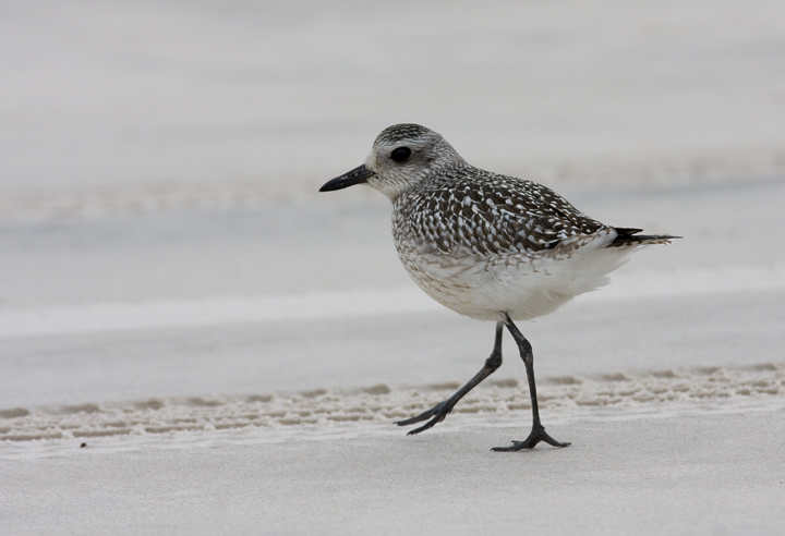 A Black-bellied Plover on Assateague Island, Maryland (10/12/2009).