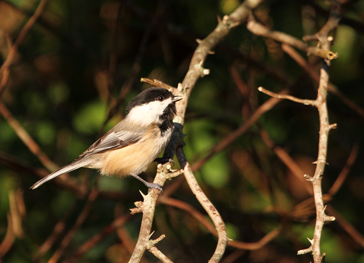Black-capped Chickadees visiting Hashawha Environmental Center, Carroll Co., Maryland (11/6/2010). Photo by Bill Hubick.