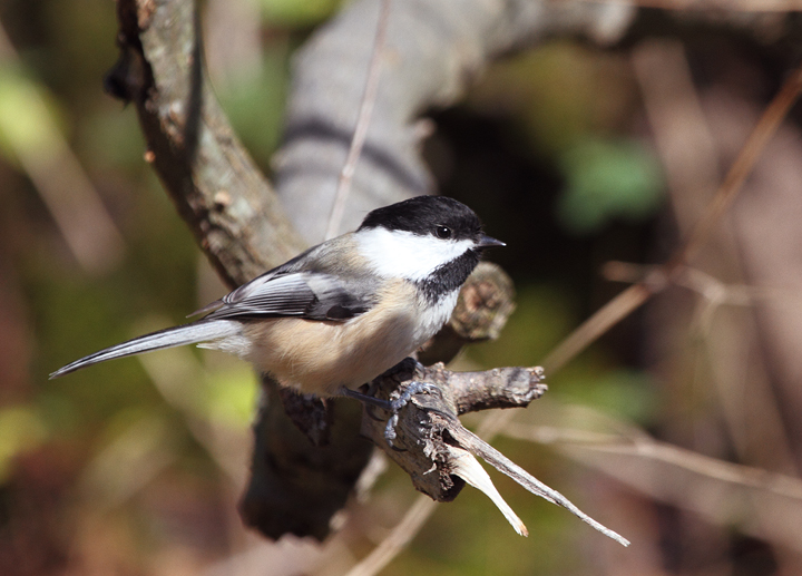 Black-capped Chickadees in northeastern Frederick Co., Maryland (11/6/2010). Photo by Bill Hubick.