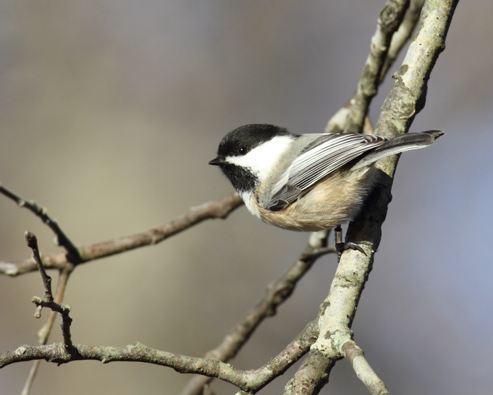 Above and below: Two Black-capped Chickadees visiting Eden Mill Park, Harford Co., Maryland (11/7/2010). When I posted about this sighting, Les Eastman told me that they'd banded one at this location. Did it look like the one above? Photo by Bill Hubick.