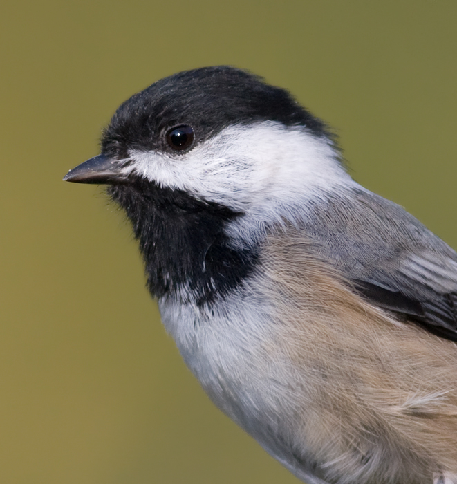 A Black-capped Chickadee leads the protest against visiting birders in Washington Co., Maryland (10/3/2009).