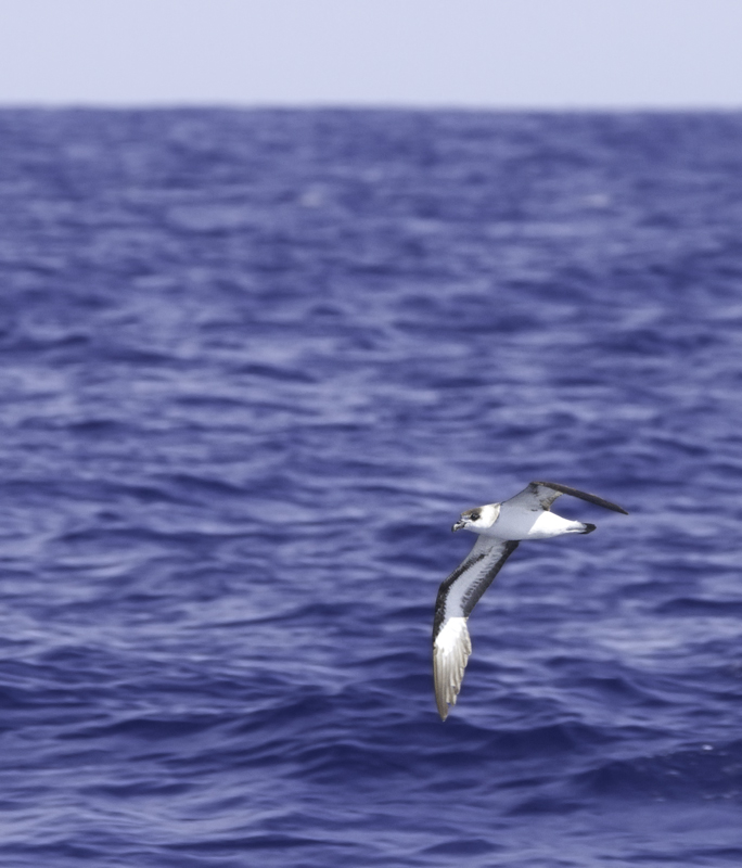 A Black-capped Petrel off Cape Hatteras, North Carolina (5/27/2011). Photo by Bill Hubick.