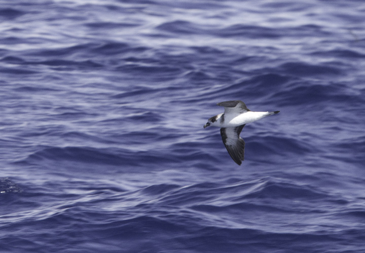 Black-capped Petrels off Cape Hatteras, North Carolina (5/29/2011). This beautiful representative of the genus <em>Pterodroma</em> (Gadfly Petrels) was studied at length on our two days offshore. Photo by Bill Hubick.