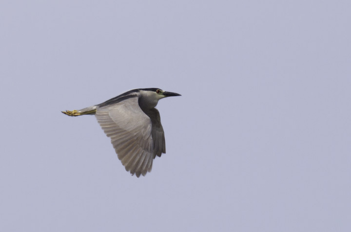 An adult Black-crowned Night-Heron at Fort Smallwood Park, Maryland (5/22/2011). Photo by Bill Hubick.