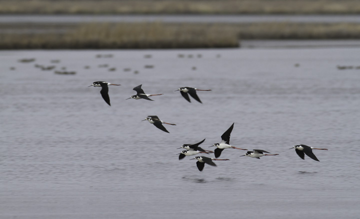 Ten (!) Black-necked Stilts at Truitt's Landing, Worcester Co., Maryland (4/16/2011). Photo by Bill Hubick.