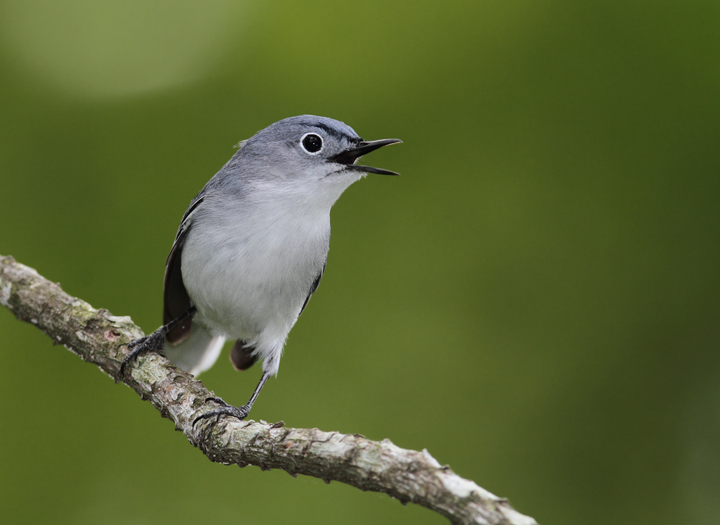 A Blue-gray Gnatcatcher coming in for the kill, Somerset Co., Maryland (5/2/2010). Photo by Bill Hubick.