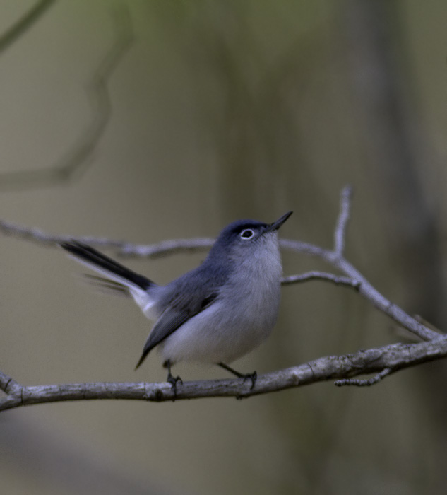 A Blue-gray Gnatcatcher comes in for the kill at Ellis Bay WMA, Wicomico Co., Maryland (4/10/2011). Photo by Bill Hubick.