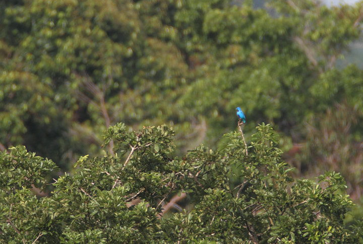 About a mile away, one of the most stunning and sought-after species in Panama - a male Blue Cotinga (July 2010). Photo by Bill Hubick.