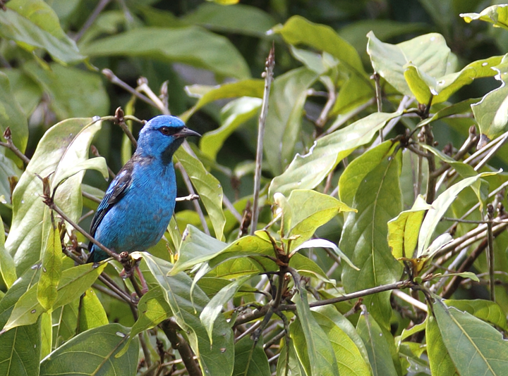 A male Blue Dacnis poses in the canopy at dawn (Panama, July 2010). Photo by Bill Hubick.