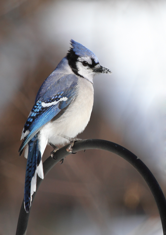 A Blue Jay in our yard in Anne Arundel Co., Maryland (12/20/2009).