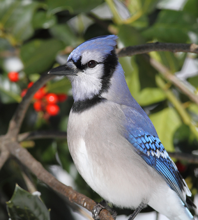 A Blue Jay posing in our yard in Pasadena, Maryland (2/7/2010). Photo by Bill Hubick.