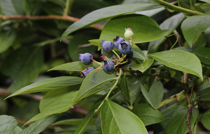 Blueberries in Caroline Co., Maryland (6/26/2010). Photo by Bill Hubick.