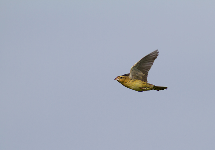 A female Bobolink in flight in Garrett Co., Maryland (6/11/2011). Photo by Bill Hubick.