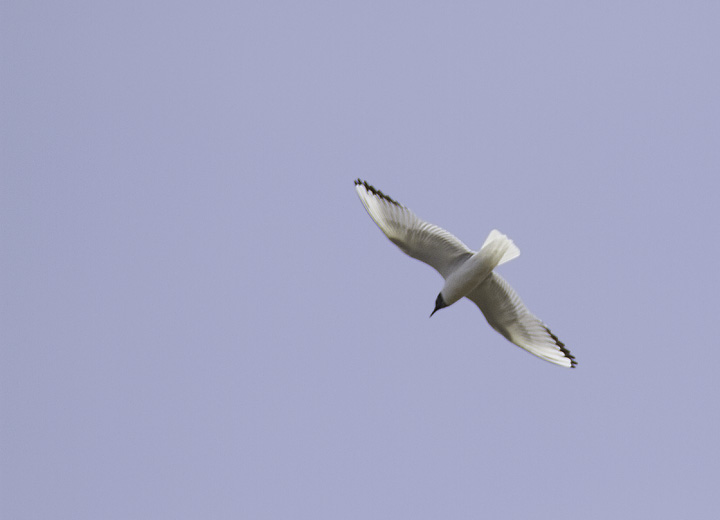 An adult Bonaparte's Gull over Somerset Co., Maryland (4/10/2011). Photo by Bill Hubick.