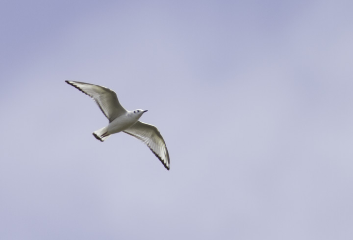 A migrant first-cycle Bonaparte's Gull soars over Somerset Co., Maryland (4/10/2011). Photo by Bill Hubick.