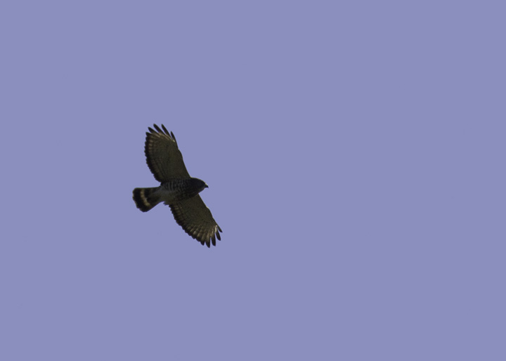 A Broad-winged Hawk soars over Allegany Co., Maryland (4/30/2011). Photo by Bill Hubick.