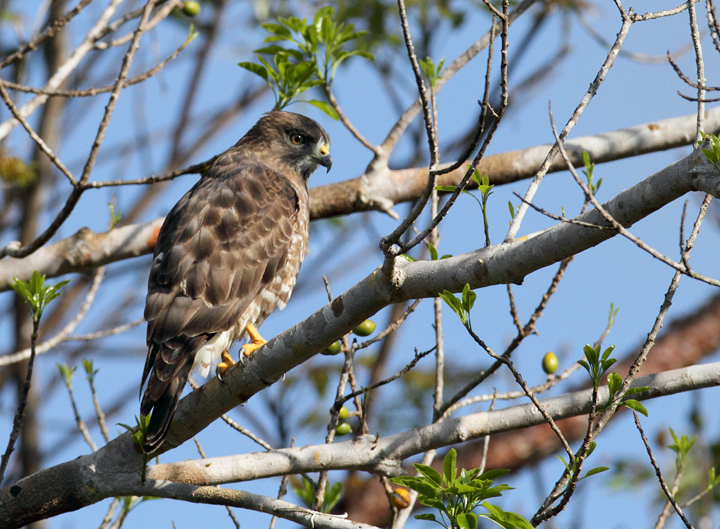 A Broad-winged Hawk in the Everglades (2/26/2010). Photo by Bill Hubick.