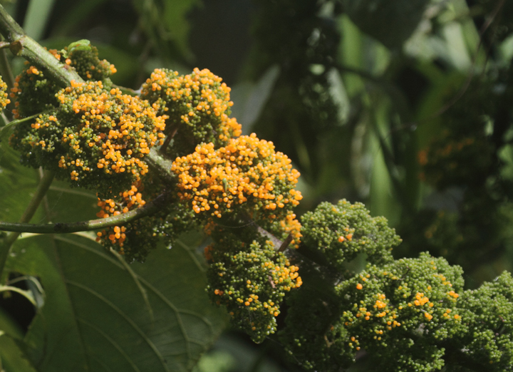 An interesting flowering plant in the hills outside of El Valle, Panama (7/13/2010). I dubbed it broccoli tree. Photo by Bill Hubick.