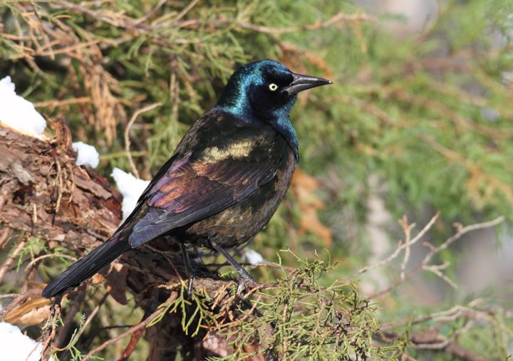 Bronzed Grackle. The following images illustrate the striking plumage differences in ideal light. Note the distinctive blue iridescence on the head and the strong bronze coloration on the back and underparts. These bronzy areas are consistently bronze-colored and do not generally appear rainbow-colored as in Purple Grackle.