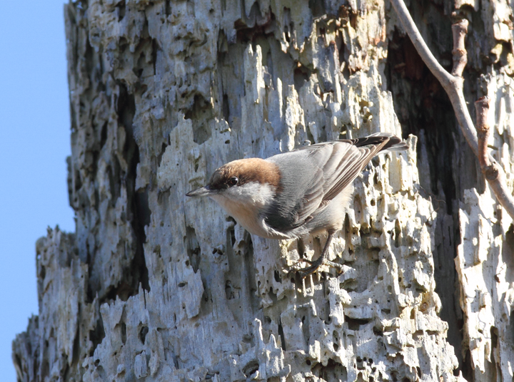A Brown-headed Nuthatch at Fairmount WMA, Maryland (12/29/2009).
