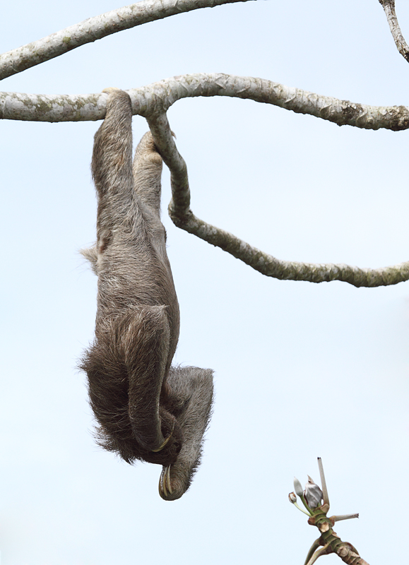 Below: A Brown-throated Three-toed Sloth lounging around at Canopy Tower, ...
