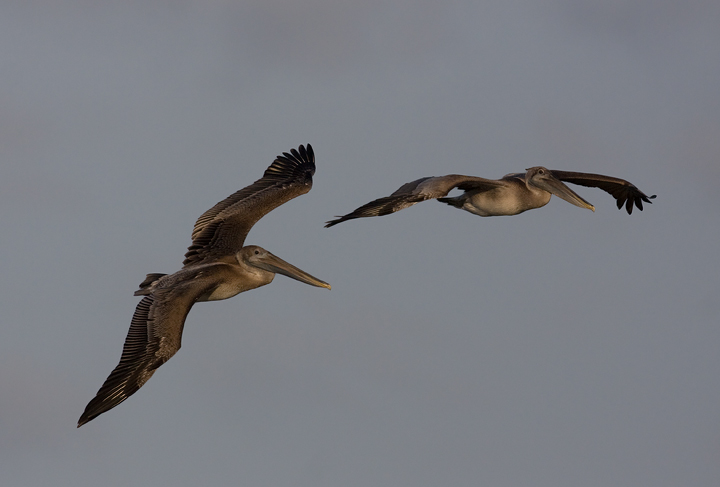 Brown Pelicans commuting past Bayside Assateague, Maryland (9/26/2009).