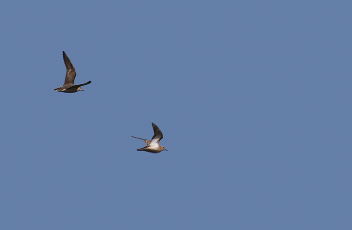 In flight with two Pectoral Sandpipers. The Buffies are the second and fourth birds from the left. In second image, both are Buff-breasted Sandpipers. Photo by Bill Hubick.