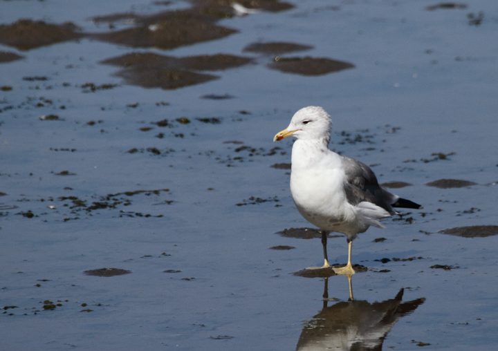 A California Gull at Chrissy Field, San Francisco, California (9/25/2010). Photo by Bill Hubick.