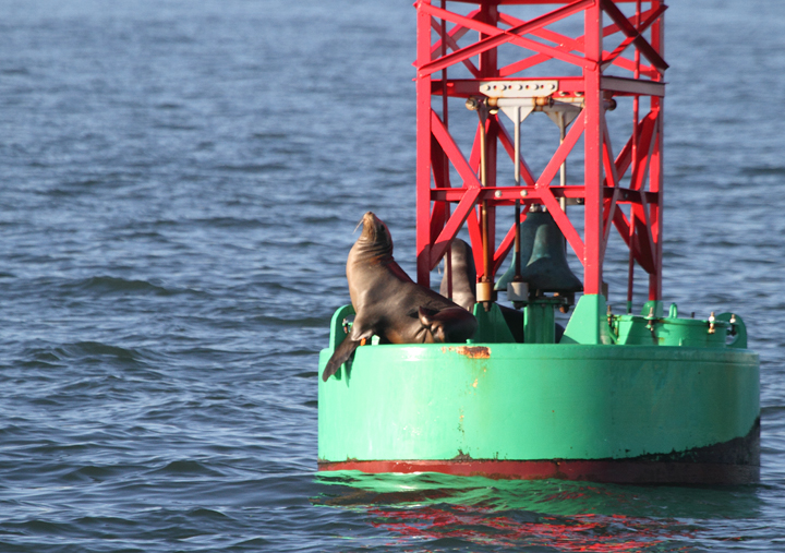 A California Sea Lion roosting on San Francisco Bay (9/24/2010). Photo by Bill Hubick.
