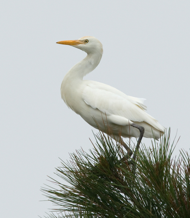 A Cattle Egret on Assateague Island, Maryland (9/25/2009).