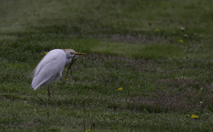 A Cattle Egret near Whitehaven Ferry in Wicomico Co., Maryland (4/16/2011). Photo by Bill Hubick.