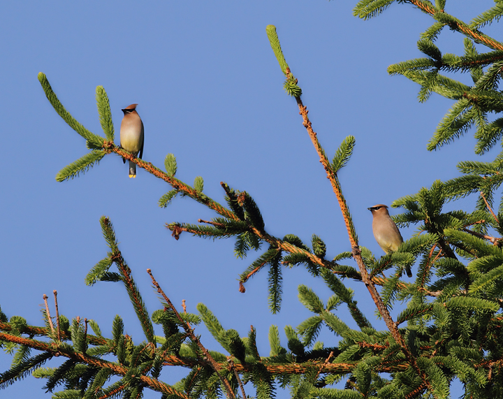 A pair of Cedar Waxwings at Finzel Swamp (5/30/2010). Photo by Bill Hubick.
