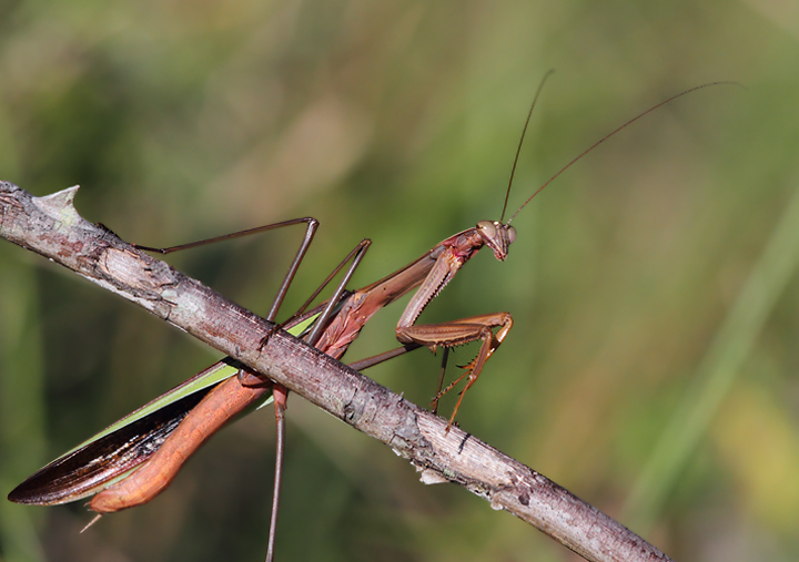 A large Chinese Mantis in Anne Arundel Co., Maryland (9/15/2010). Photo by Bill Hubick.