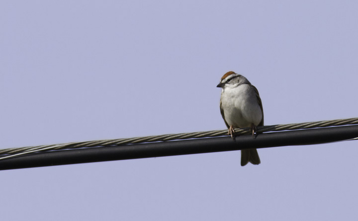 A Chipping Sparrow near the Nanticoke River in Wicomico Co., Maryland (4/10/2011). Photo by Bill Hubick.
