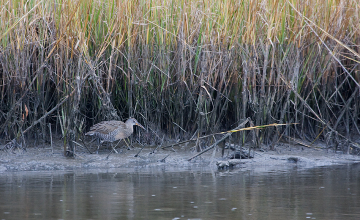 A Clapper Rail forages along the marsh edge on Assateague Island, Maryland (9/25/2009).