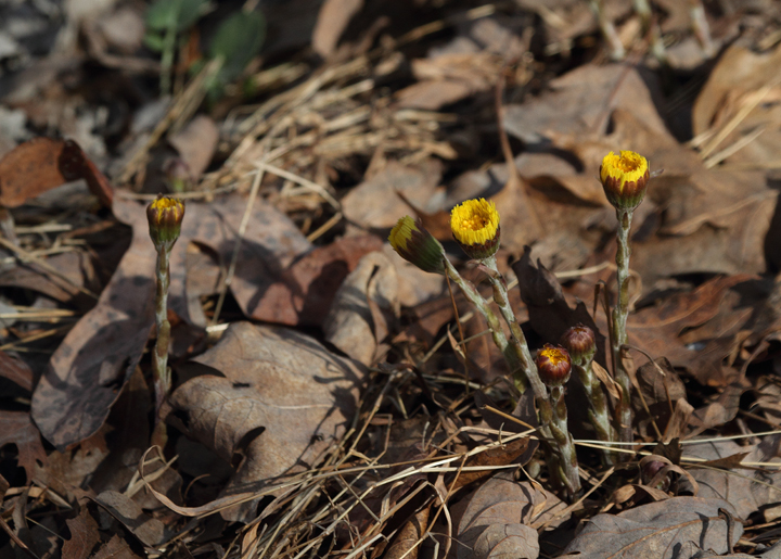 Coltsfoot (<em>Tussilago farfara</em>) blooming in Frederick Co., Maryland (4/3/2010). Photo by Bill Hubick.