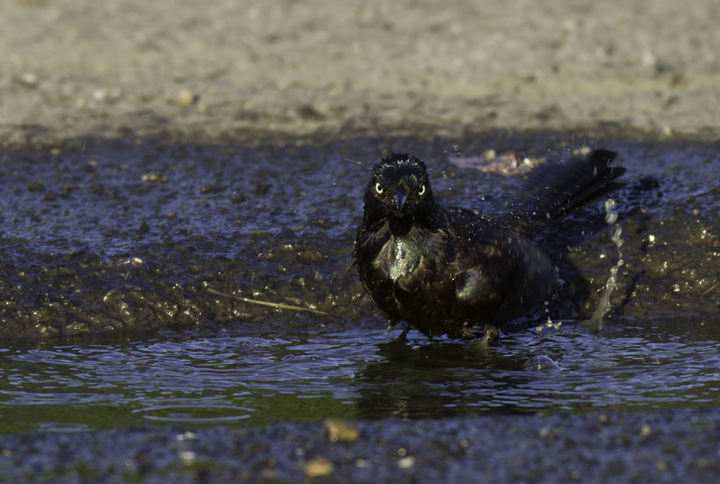A Common Grackle takes a dip in Berlin, Maryland (5/11/2011). Photo by Bill Hubick.