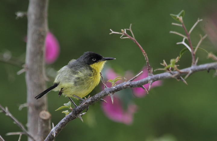 A Common Tody-Flycatcher nesting near the Rio Chagres, Panama (July 2010). Photo by Bill Hubick.