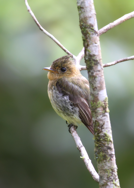 A Common Tufted Flycatcher at Las Mozas, Panama (7/11/2010). Photo by Bill Hubick.