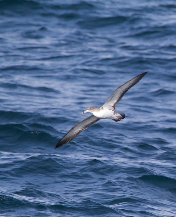 One of six Cory's Shearwaters observed from the Judith M out of Ocean City, Maryland (6/26/2011). Photo by Bill Hubick.